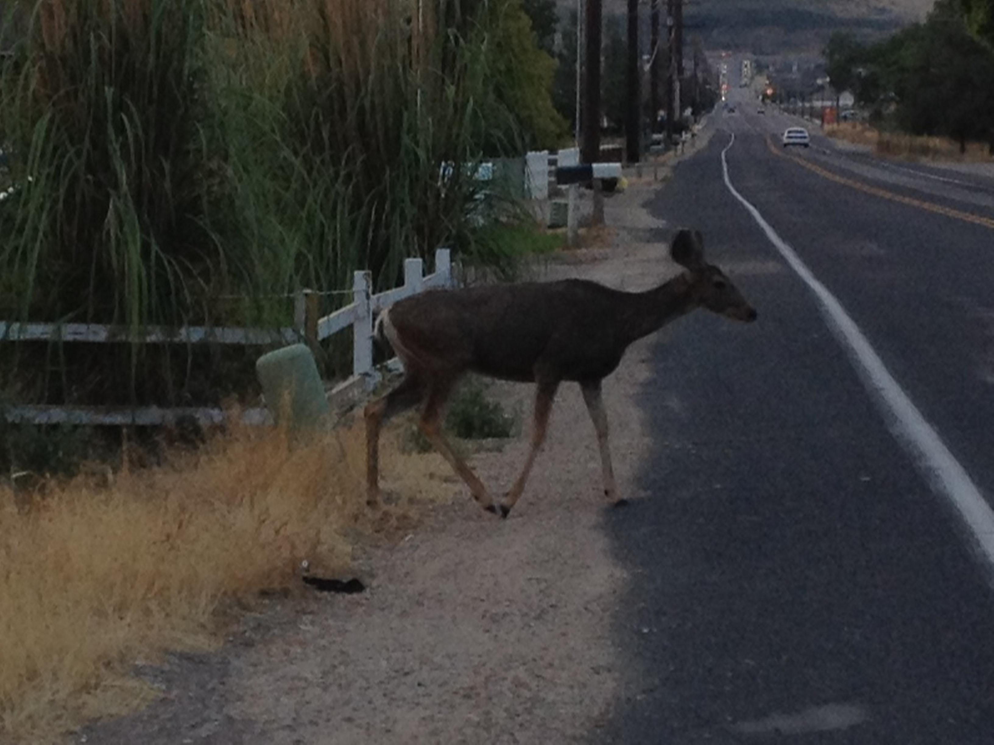 Deer at most active at dawn and dusk
